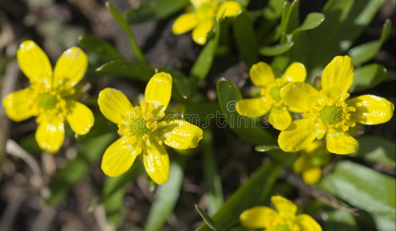 Utah Buttercup flowers. In the Bannock Mountains of Idaho stock image