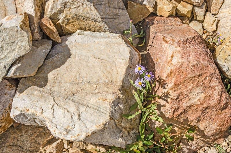 Utah Daisies Between Colorful Rocks stock photos