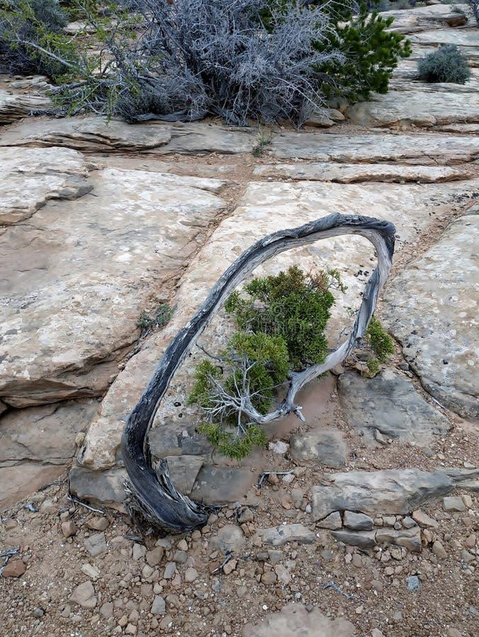 Utah jałowcowy drzewo z wyginającym się bagażnikiem, Canyonlands park narodowy, Utah, usa obraz royalty free