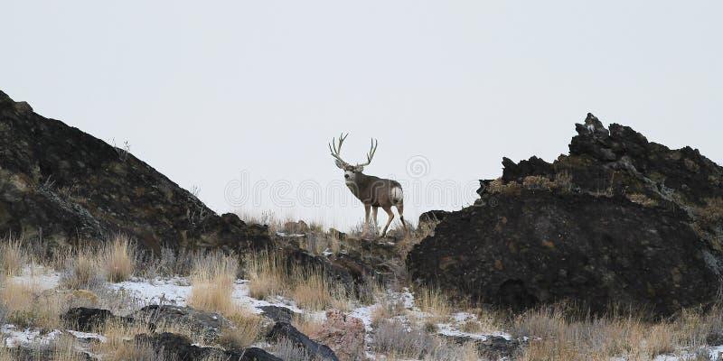 Utah-Maultierhirsche lizenzfreies stockfoto