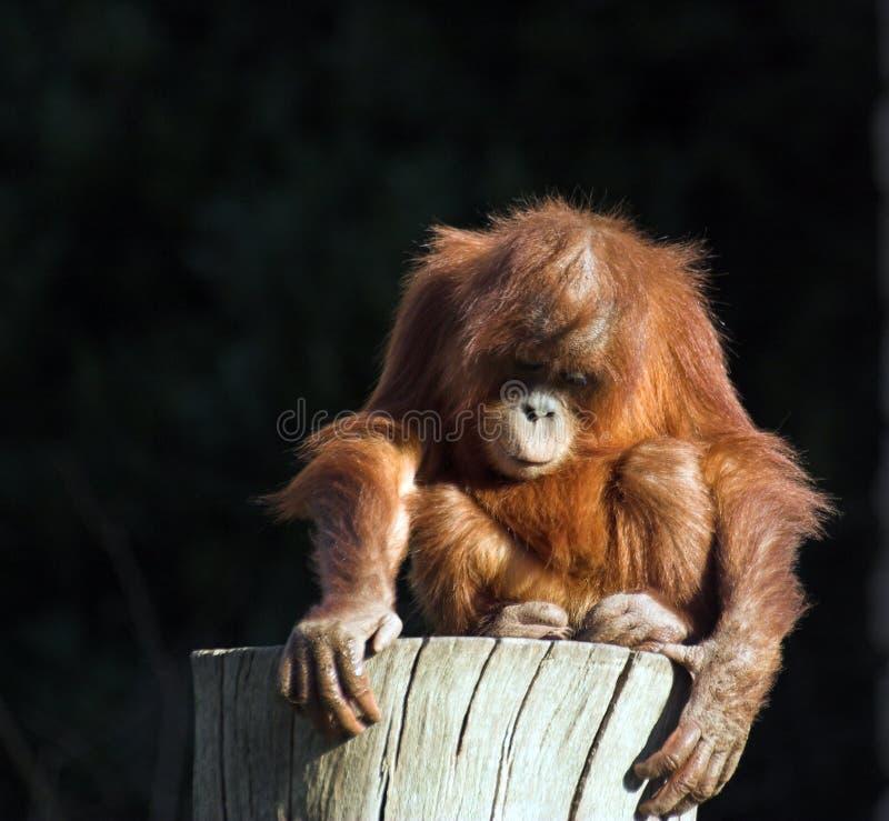 Utan de orang-oetan van de baby royalty-vrije stock afbeelding