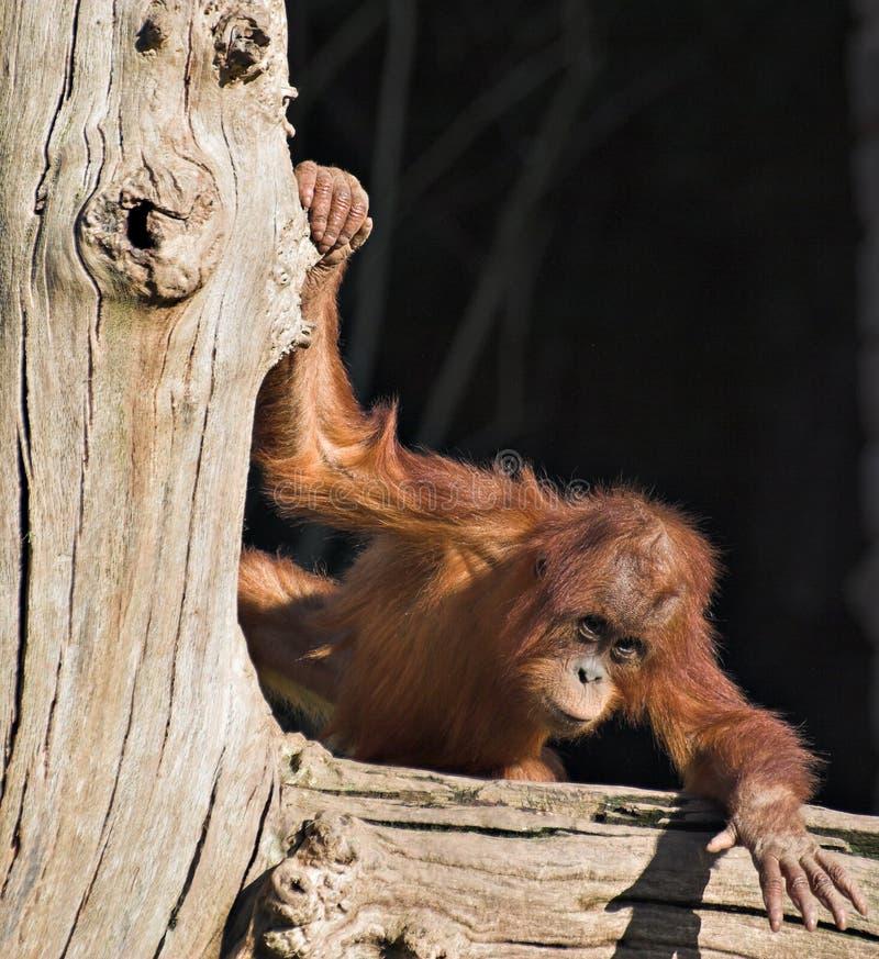 Utan de orang-oetan van de baby stock afbeelding