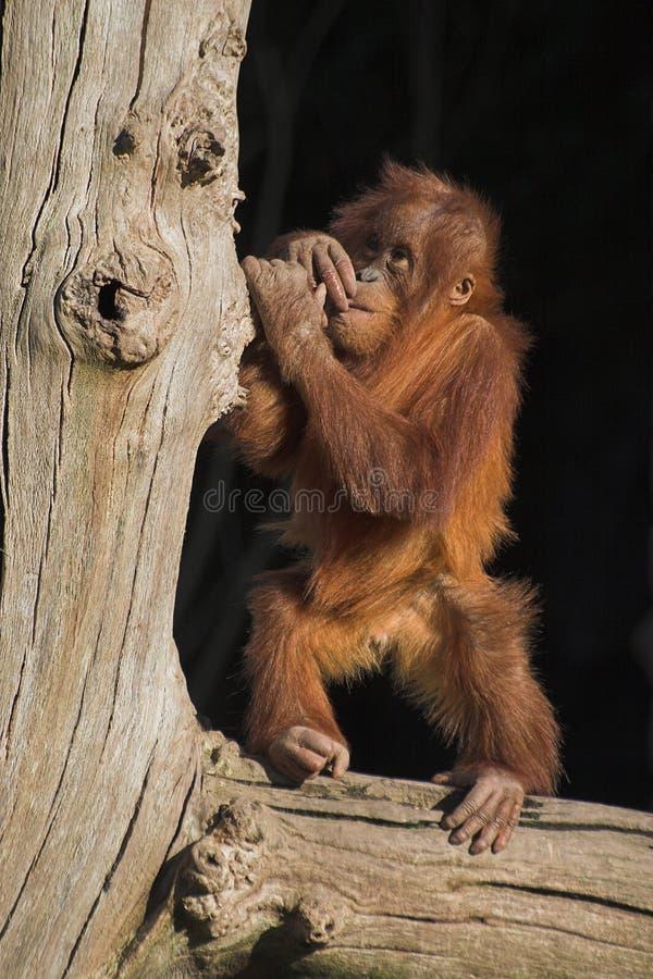 Utan de orang-oetan van de baby royalty-vrije stock afbeeldingen