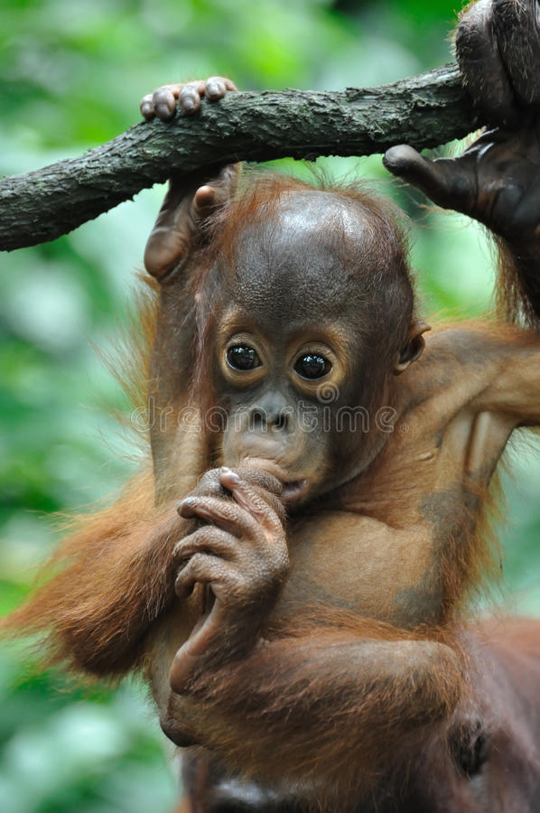 utan dziecka orang zdjęcia stock