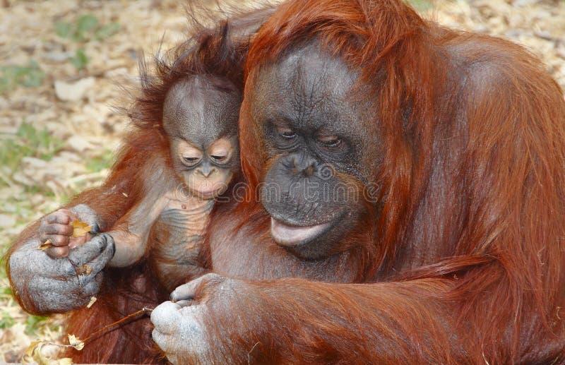 utan orang的猩猩 免版税库存照片