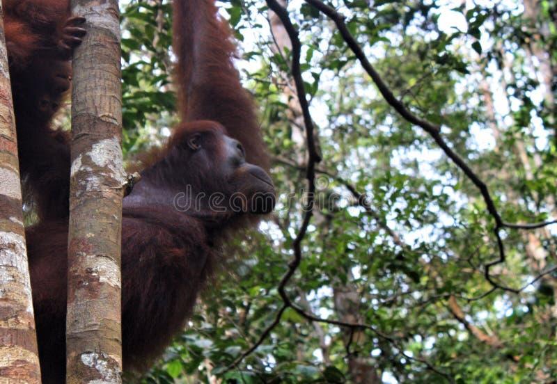 Utan orang-oetan royalty-vrije stock afbeeldingen