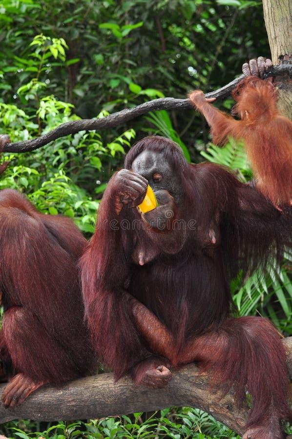 Utan orang-oetan stock afbeeldingen