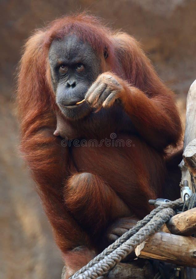 utan orang young zdjęcie stock