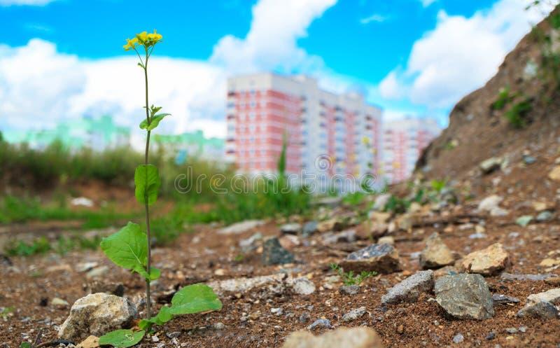 Utanför staden i jorden växer en lång blom- växt, mot bakgrunden av envåning byggnad arkivbild