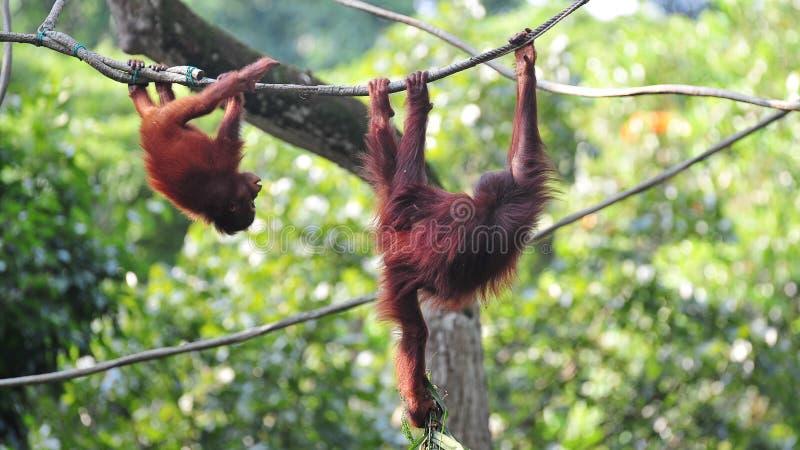 Utans d'Orang balançant dans leur habitat image stock