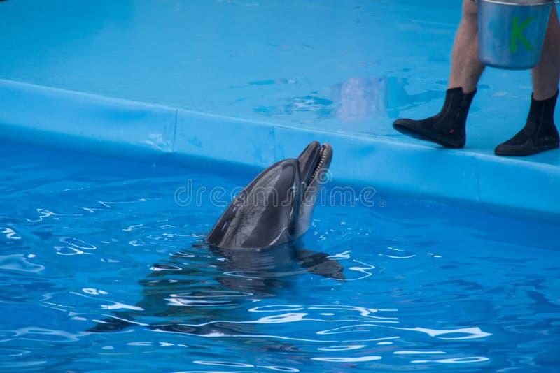 Utbildad delfin i akvariet, delfinarier Visa med delfin instrukt?ren arbetar med en utbildad delfin arkivbilder