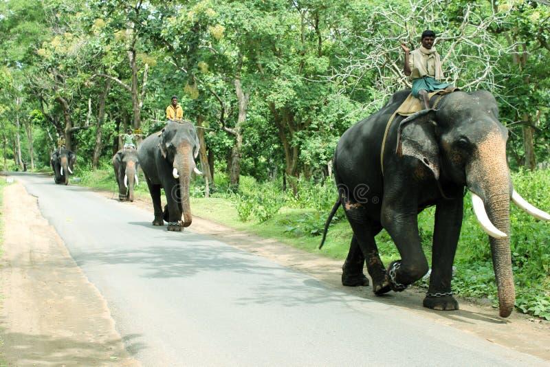 Utbildade elefanter kallade Kumki fotografering för bildbyråer