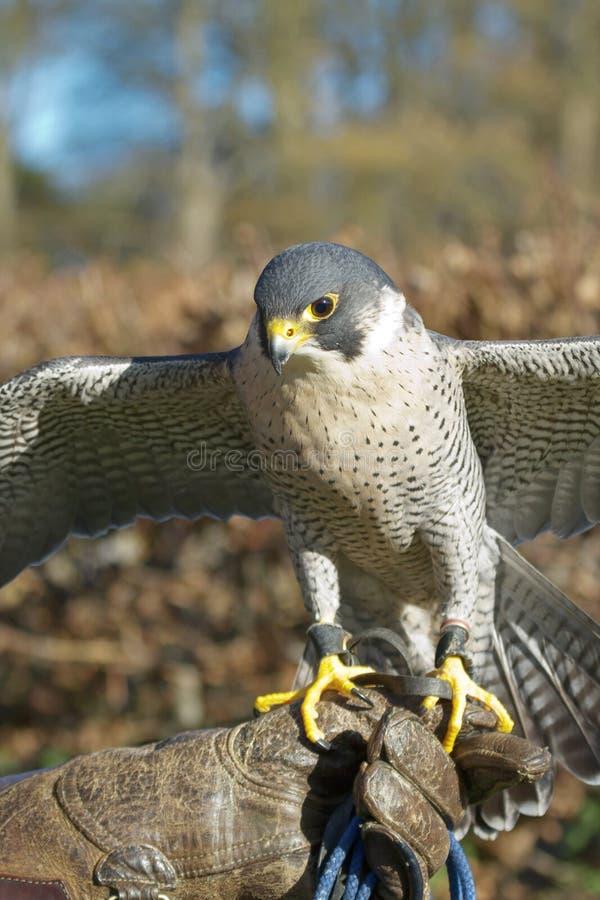 Utbildade Peregrine Falcon (den Falco peregrinusen) som används i sportnollan royaltyfri foto