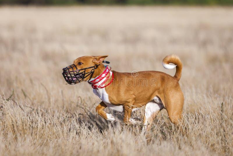 Utbildande jaga Det Basenji hundspåret stöter ihop med fältet royaltyfri foto