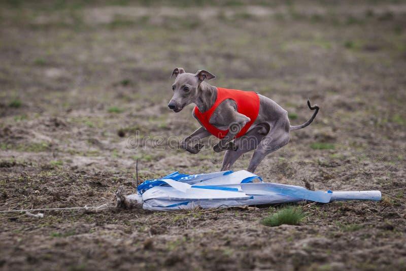 Utbildande jaga Hund för italiensk vinthund arkivfoton