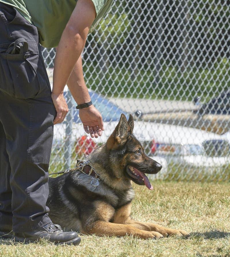 Utbildning av polishundkapplöpning och tjänstemän arkivfoto