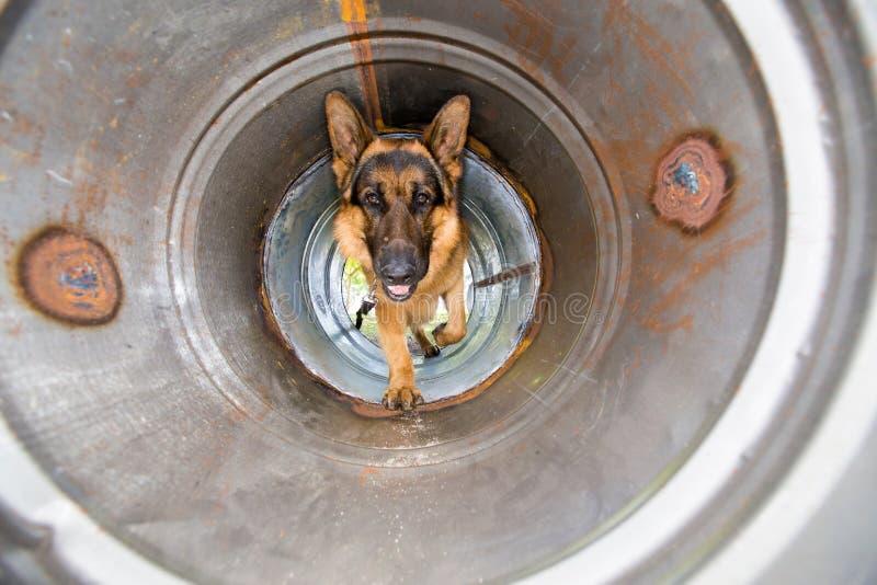 Utbildning för polishund arkivfoton