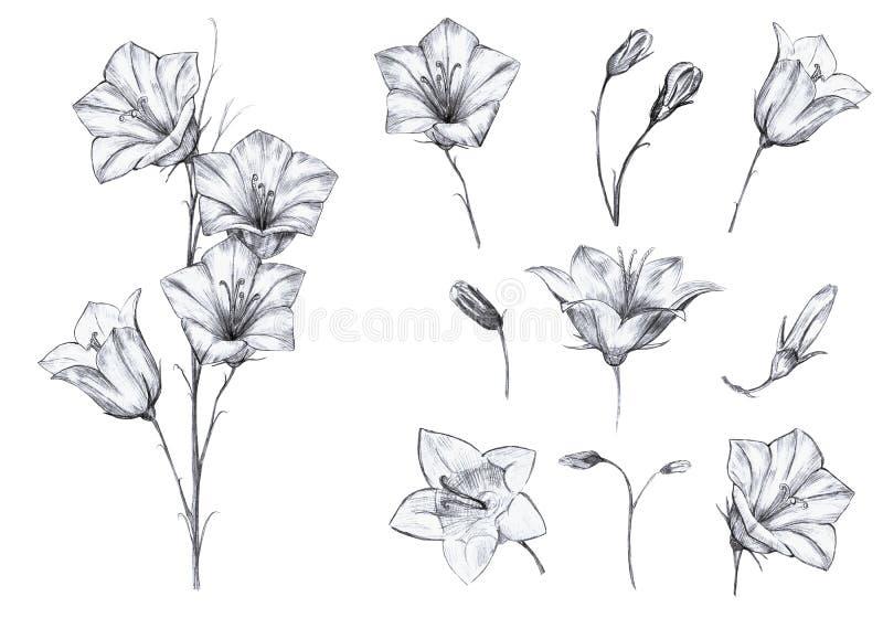 Utdragen blom- uppsättning för hand av isolerade objekt med grafiska blåklockablommor, stam, knoppar på vit bakgrund vektor illustrationer