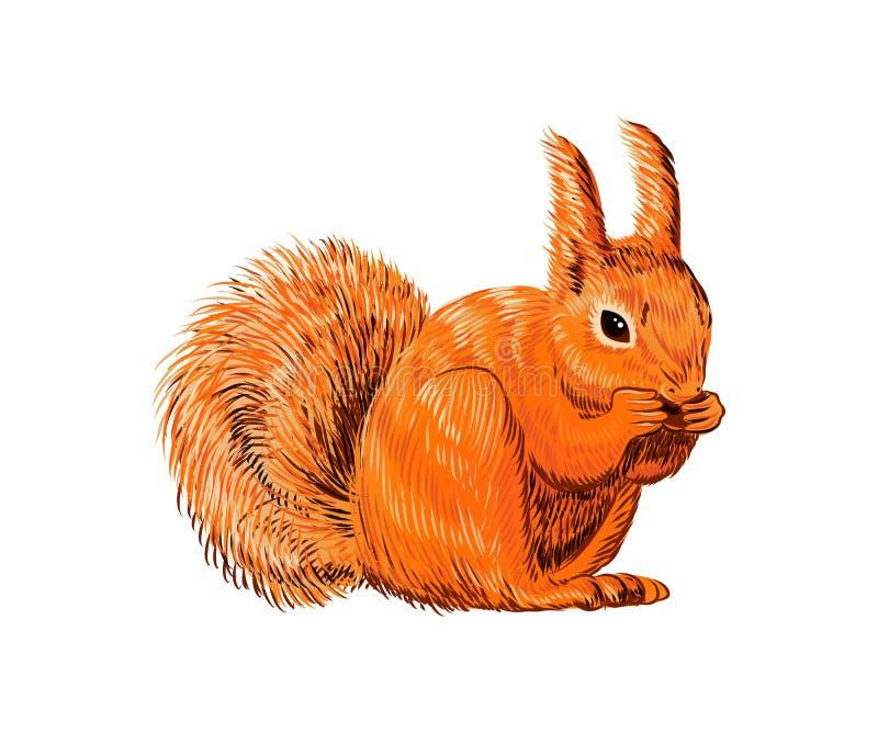 Utdragen ekorre för hand som äter muttern Isolerat Retro realistiskt djur tappning för stil för illustrationlilja röd Färgrik lin royaltyfri illustrationer