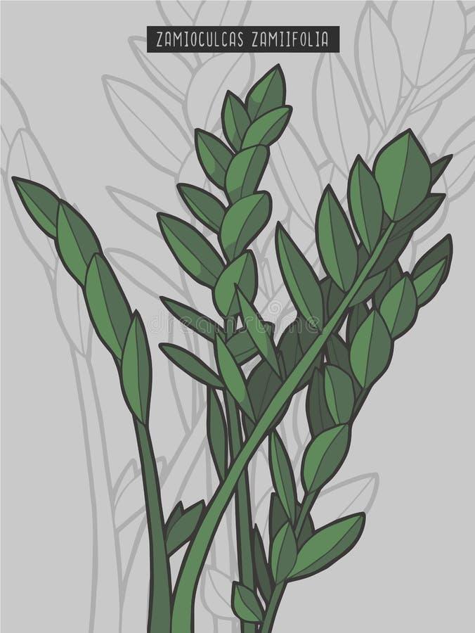 Utdragen illustration för vektor för tropisk växt för rainforest för växt för Zamioculcas zamiifolia ZZ royaltyfri illustrationer