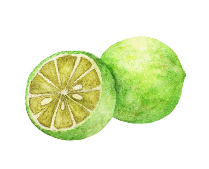 Utdragen limefrukt för vattenfärghand naturlig matfruktillustration som isoleras på vit bakgrund stock illustrationer