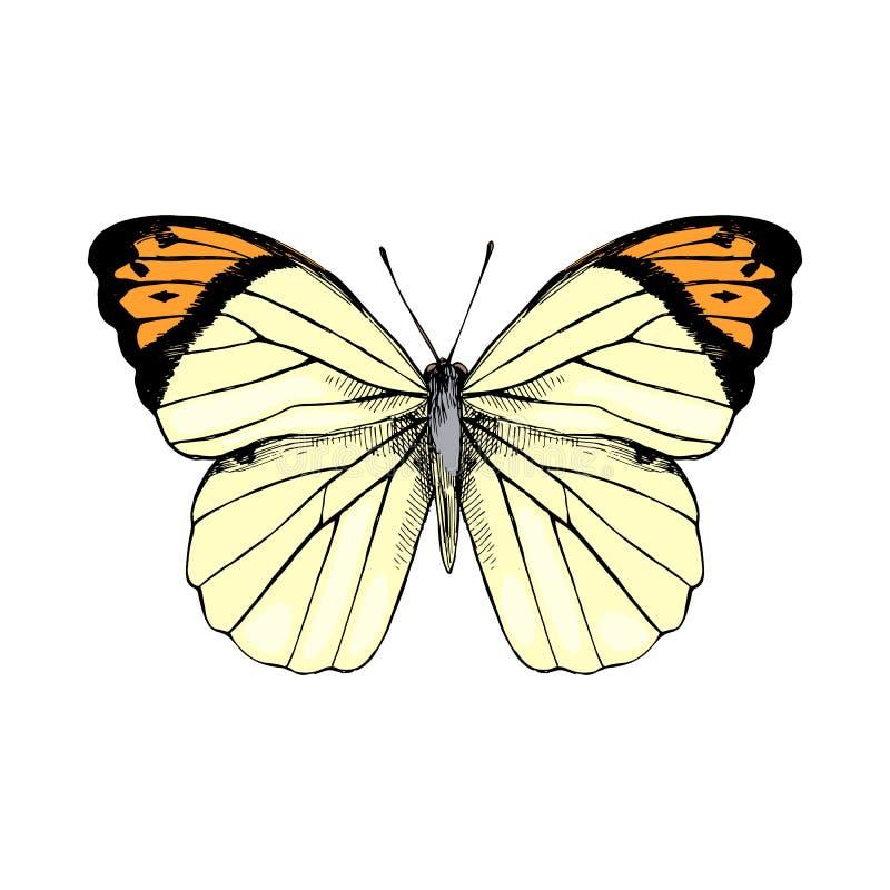Utdragen stor orange spets för hand - Hebomoia glaucippe - fjäril stock illustrationer
