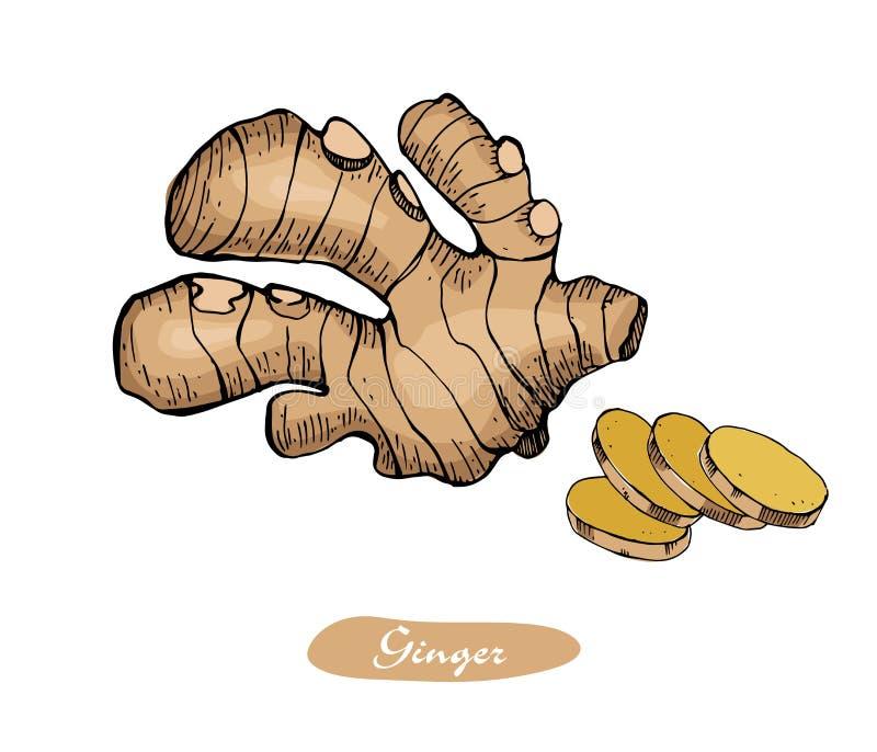 Utdragen vektorillustration för ljust rödbrun färgrik hand Specificerad retro stil skissar Växt- krydda för kök och matingrediens stock illustrationer