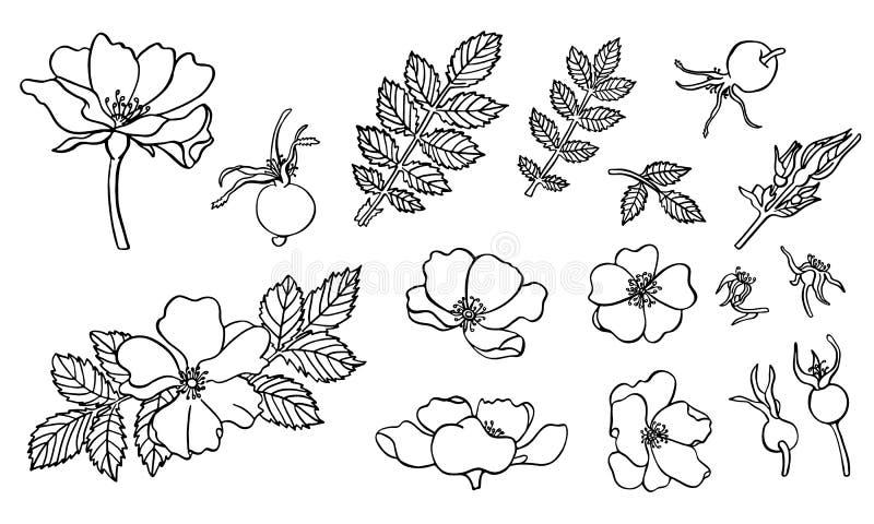 Utdragna dogroseblommor för hand med färgpulver i vektor royaltyfri illustrationer