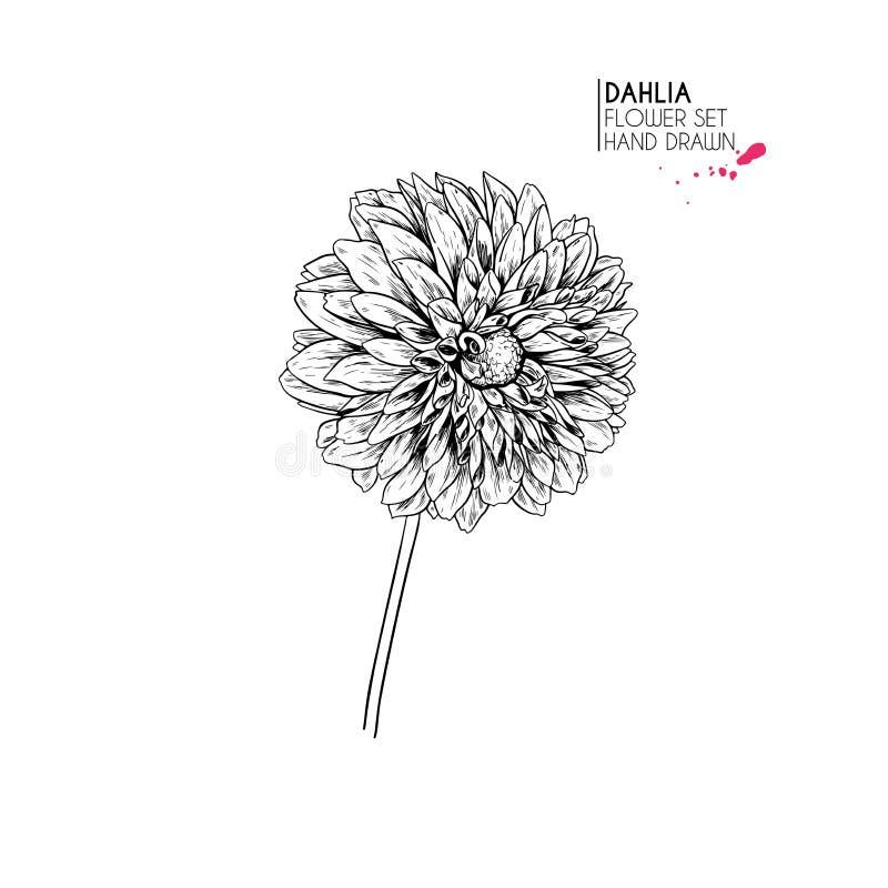 Utdragna höstblommor för hand Dahlia Flower Tappning inristad konst Botanisk illustration Goda för blomsterhandeln, allhelgonaaft royaltyfri illustrationer