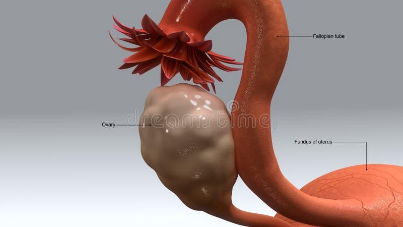uterus иллюстрация вектора