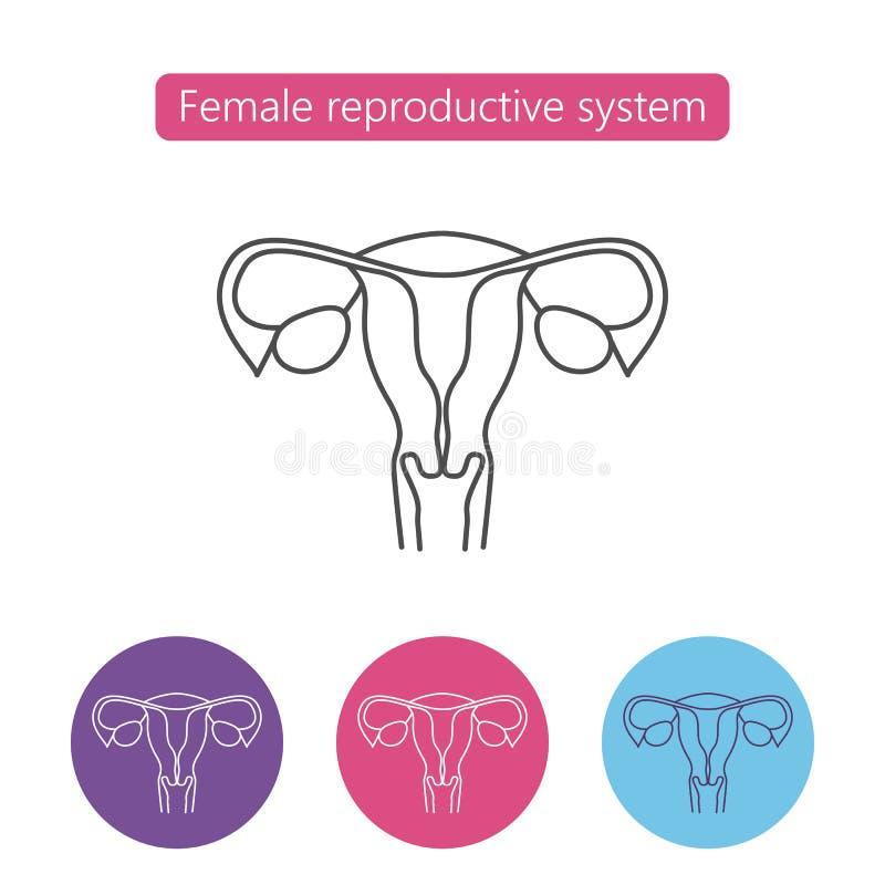 Uterus organ line icon. royalty free illustration