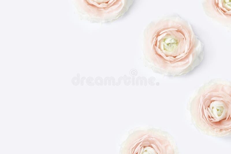 Utformat materielfoto Den kvinnliga skrivbords- modellen med den rosa smörblomman för rodnaden blommar, ranunculusen, på vit tabe royaltyfri bild