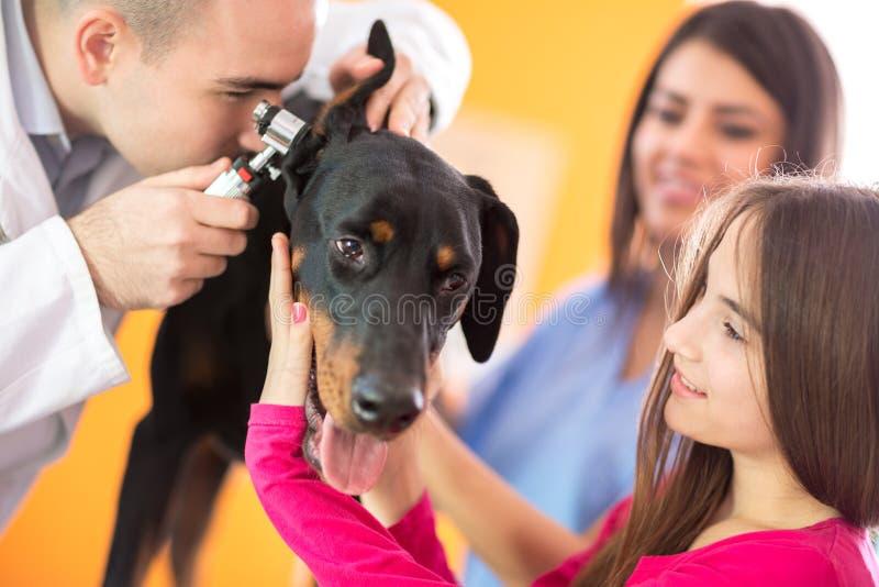 Utfrågningundersökning av den stora gjorda hunden i veterinärsjukavdelning arkivfoto
