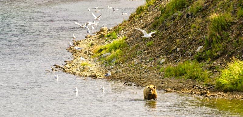 Uthärda att gå i en flod i den Katmai halvön royaltyfri bild