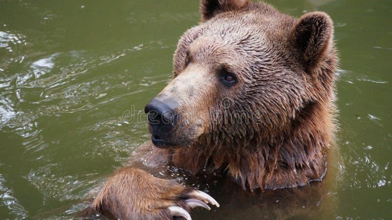 Uthärda att spela i vattnet på zoo arkivbilder