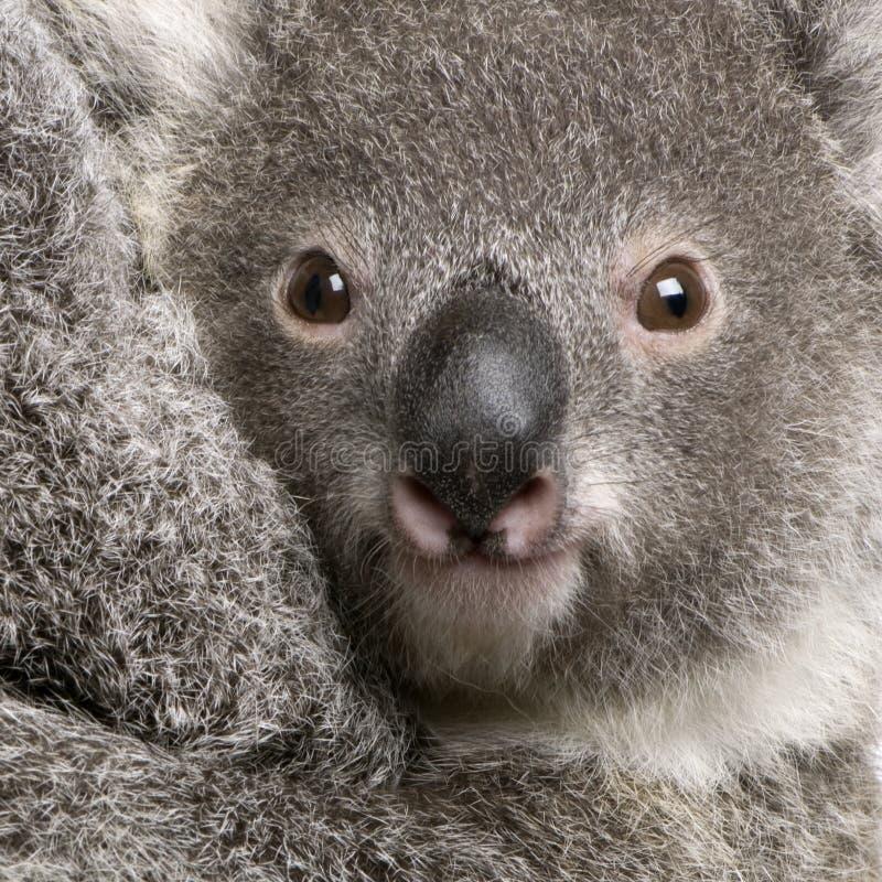 uthärda upp den täta koalaphascolarctosen för cinereusen arkivbild