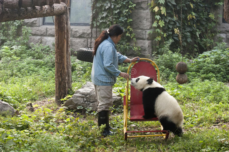 uthärda zookeeperen för zooen för pandaen för den beijing porslingröngölingen den jätte- arkivfoto
