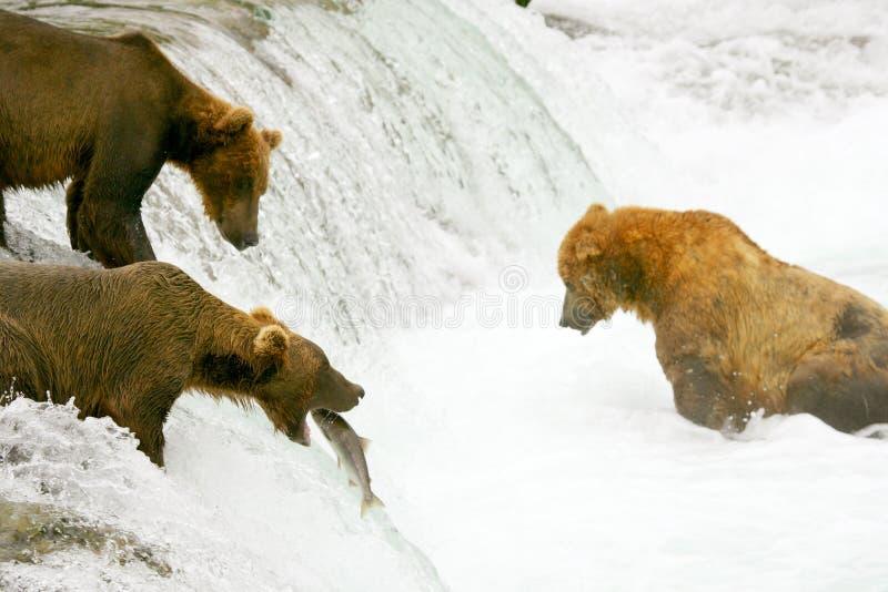 uthärdar grizzlyen arkivfoton