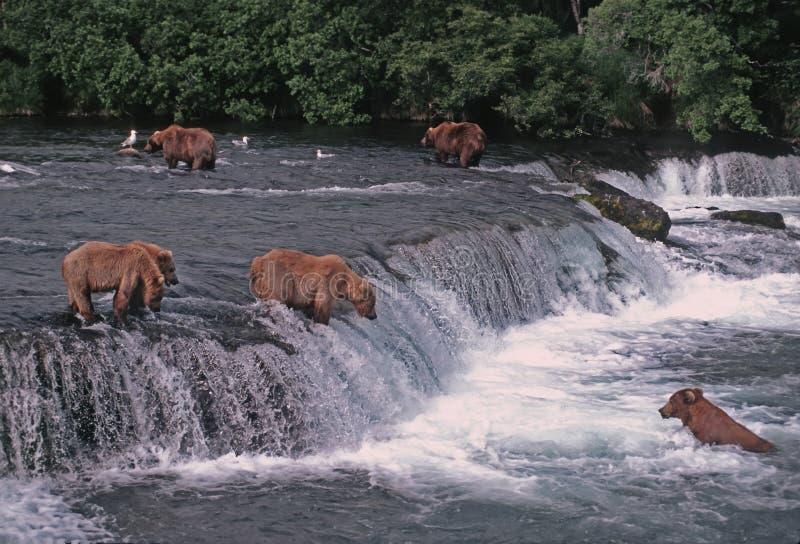 uthärdar grizzlyen royaltyfria foton