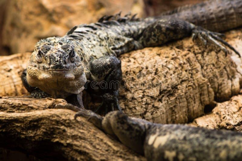 Utila ogoniasta iguana & x28; Ctenosaura bakeri& x29; samiec obraz stock