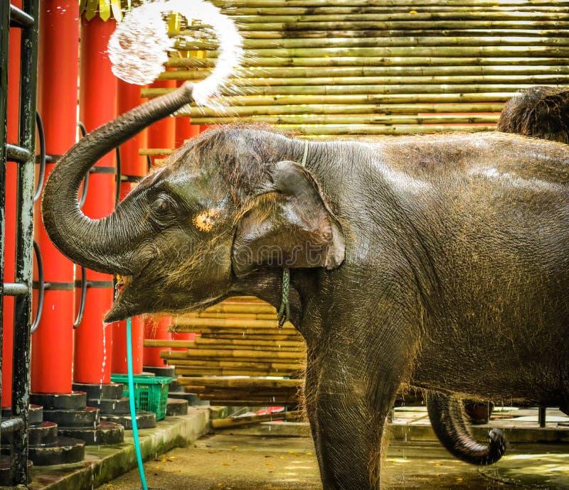 utilisation d'éléphant de bébé son eau d'éclaboussure de tronc pendant se baigner au zoo photos stock