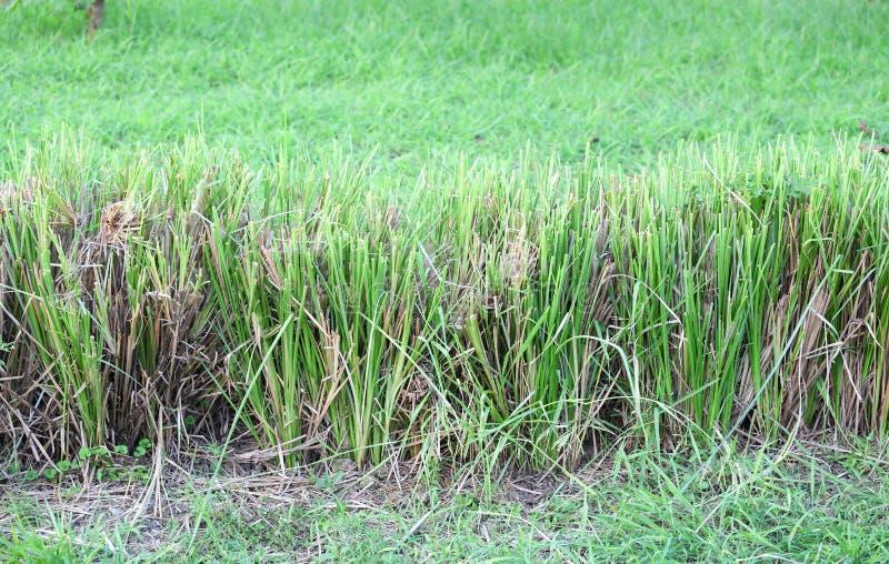 Utilisation des zizanioides d'herbe ou de Vetiveria de vétiver pour images libres de droits