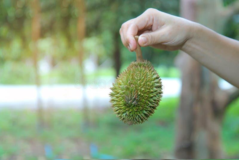 Utilisez la main droite pour soulever un petit durian de Montong tombant l'arbre avant qu'il puisse être employé comme nourriture images libres de droits