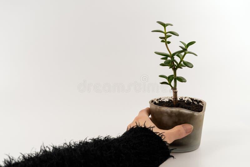 Utklipp av kvinnahanden som rymmer en grön växande suckulent växt i en modern exponeringsglaskruka med ny naturlig jord royaltyfria bilder