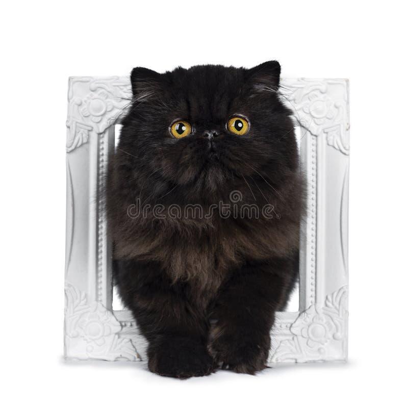 Utmärkt djup svart perserkattkattunge som isoleras på en vit bakgrund arkivfoto