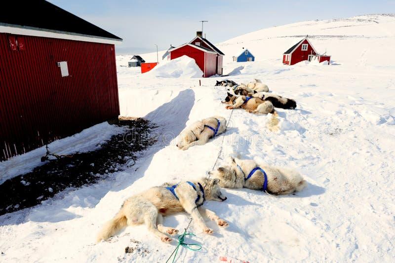 Utmattad pulkahundkapplöpning i östlig Grönland efter en lång ritt för pulkahund royaltyfri fotografi