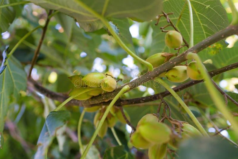 Utomhus- bild för Paulowniafruitagenärbild royaltyfri foto