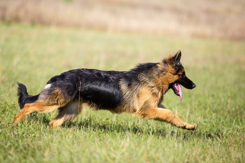 Utomhus- för hund för tysk herde långhårigt rinnande arkivbild