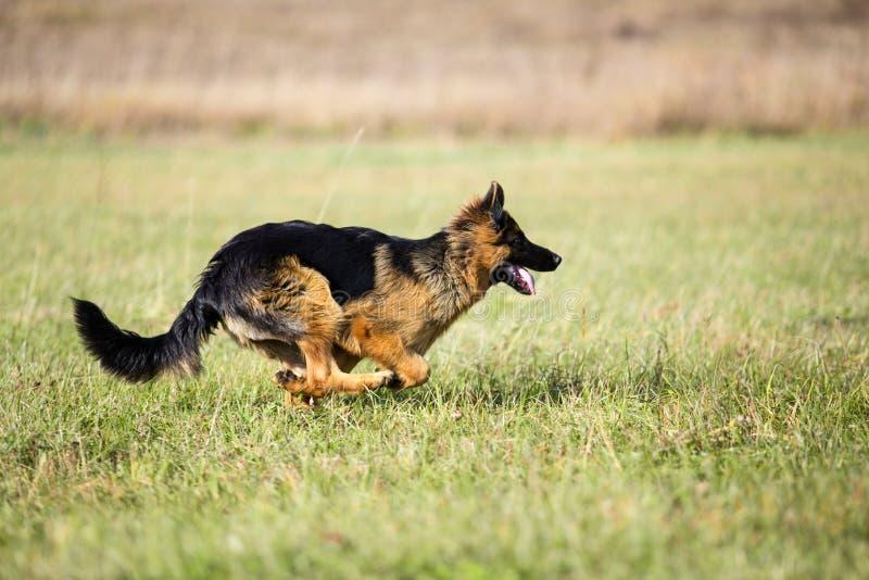 Utomhus- för spring för hund för tysk herde snabbt arkivbild