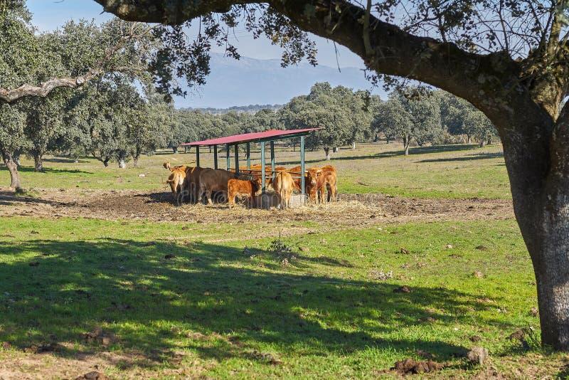 Utomhus- förlagematare- och bergsikter av bruna kor och kalvar royaltyfria bilder